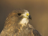 Female Swainson's Hawk Head, Buteo Swainsoni, USA Photographic Print by John Cornell