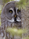 Great Gray Owl Face, Strix Nebulosa, North America Photographic Print by Adam Jones