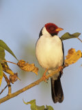 Yellow-Billed Cardinal (Paroaria Capitata), Brazil, South America Photographic Print by Tom Ulrich