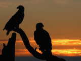 Mature Bald Eagle Pair (Haliaeetus Leucocephalus) at Sunset Photographic Print by Tom Walker