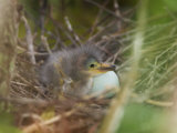 Green Heron, Butorides Virescens, Newly Hatched Chick in the Nest Next to an Egg, Southern USA Photographic Print by John Cornell