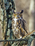 Great Horned Owl (Bubo Virginianus), North America Fotoprint van Steve Maslowski