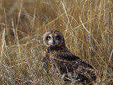 Short-Eared Owl (Asio Flammeus) Standing in Low Vegetation, Colorado, USA Photographic Print by Jack Michanowski