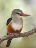 Gray-Headed Kingfisher, Halcyon Leucocephala, Kenya, Africa Photographic Print by Arthur Morris