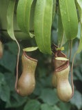 Pitcher Plant, Nepenthes Ventricosa Photographic Print by David Sieren