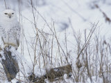 Snowy Owl, Nyctea Scandiaca, Standing on a Snowy Stump Photographic Print by Joe McDonald