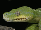Green Tree Python, , Chondropython Viridis, Shedding Skin, Australia, New Guinea Photographic Print by Jim Merli