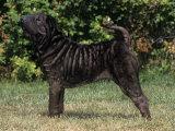Shar-Pei Variety of Domestic Dog Photographic Print by Cheryl Ertelt