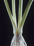 Chives, , Allium Schoenoprasum Photographic Print by Jerome Wexler