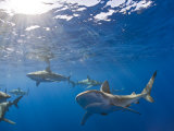 Galapagos Sharks (Carcharhinus Galapagensis), Oahu, Pacific Ocean, Hawaii, USA Photographic Print by Reinhard Dirscherl