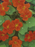 Nasturtium Flowers (Trapaeolum), Dwarf Whirlybird Variety Photographic Print by Wally Eberhart