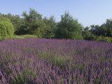 Field of Lavender Flowers, Lavandula, France, Europe Photographic Print by Adam Jones