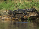 Dwarf Caiman, Paleosuchus Palpebrosus, Orinoco and Amazon Basins, South America Photographic Print by Joe McDonald