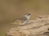 White-Crowned Sparrow, Zonotrichia Leucophrys, North America Photographie par John Cornell