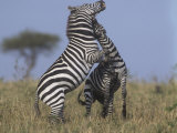 Common or Burchell's Zebras Fighting, Equus Burchellii, Masai Mara, Kenya, Africa Photographic Print by Joe McDonald