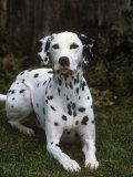 Dalmatian Variety of Domestic Dog Fotografisk tryk af Cheryl Ertelt