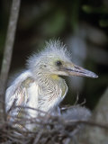 Little Blue Heron Chick in the Nest, Egretta Caerulea, Florida, USA Photographic Print by Arthur Morris
