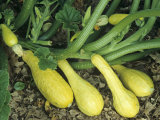 Early Summer Crookneck Squash Photographic Print by David Cavagnaro