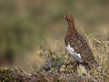 Willow Ptarmigan in Summer Plumage, Lagopus Lagopus, Canada Photographie par Arthur Morris
