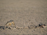 Black-Backed Jackal, Canis Mesomelas, Scavenging from an Old Kill, Masai Mara, Kenya, Africa Photographie par Joe McDonald