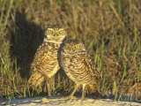 Burrowing Owls, Athene Cunicularia, Florida, USA Photographic Print by Arthur Morris