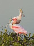 Roseate Spoonbills, Ajaia Ajaja, Florida, USA Photographie par John Cornell