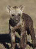 Young Spotted Hyena, Crocuta Crocuta, East Africa Photographic Print by Joe McDonald
