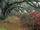 Live Oaks, Quercus Virginiana, and Azaleas, Magnolia Plantation Photographie par Adam Jones
