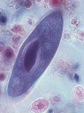 Paramecium, Phase Photographic Print by David Phillips