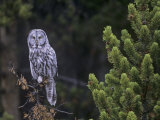 Great Gray Owl in a Coniferous Forest (Strix Nebulosa) Yellowstone National Park, Wyoming, USA Photographic Print by Charles Melton