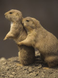 Black-Tailed Prairie Dogs, Cynomys Ludovicianus, Western North America Photographic Print by Adam Jones