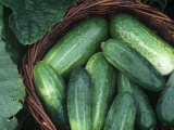 Cucumber Harvest in a Basket, Fancipak Variety (Cucumis Sativus) Photographic Print by David Cavagnaro
