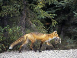 Red Fox (Vulpes Vulpes) with Ground Squirrel Prey in its Mouth, North America Photographic Print by Tom Walker
