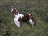 Welsh Springer Spaniel Variety of Domestic Dog Photographic Print by Cheryl Ertelt