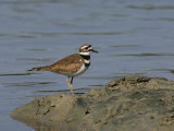 Killdeer, Charadrius Vociferus, USA Photographic Print by John Cornell