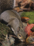 Gray Squirrel (Sciurus Carolinensis) Drinking, Eastern USA Photographic Print by Steve Maslowski