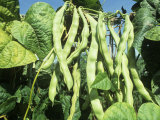 Pole Snap Beans Ripening on the Plant, 'Champagne' Photographic Print by David Cavagnaro