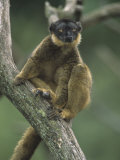 A Collared Lemur, Eulemur Fulvus Collaris, Madagascar, Africa Photographic Print by Adam Jones