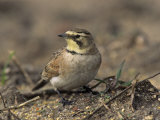 Horned Lark (Eremophila Alpestris), California, USA Reproduction photographique par Steve Maslowski
