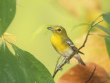 Yellow-Throated Vireo (Vireo Flavifrons), North America Photographic Print by Steve Maslowski
