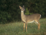 Key Deer, Odocoileus Virginianus Clavium, an Endangered Species in the Florida Keys, Florida, USA Photographic Print by Arthur Morris