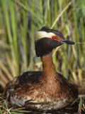 Horned Grebe on the Nest, Podiceps Auritus, North America Photographic Print by Arthur Morris