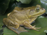 .Bullfrog (Rana Catesbeiana) on a Lily Pad, North America Lmina fotogrfica por Gary Meszaros