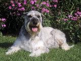 Giant Schnauzer Variety of Domestic Dog Photographic Print by Cheryl Ertelt