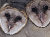 Barn Owl Faces, Tyto Alba, a Threatened Species, North America Photographic Print by Joe McDonald