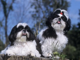 Shih Tzu Variety of a Toy Domestic Dog Photographic Print by Cheryl Ertelt