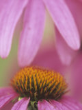 Purple Cone Flower, Rudbeckia Purpurea Photographic Print by Adam Jones