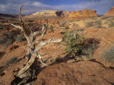 Twisted Tree and Sandstone Formations, Coyote Buttes Area, Paria Canyon, Arizona, USA Photographic Print by Adam Jones