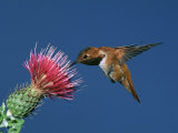 Male Rufous Hummingbird (Selasphorus Rufus) at Thistle Photographic Print by Charles Melton