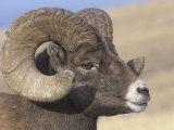 Bighorn Ram Head (Ovis Canadensis), North America Photographic Print by Tom Walker